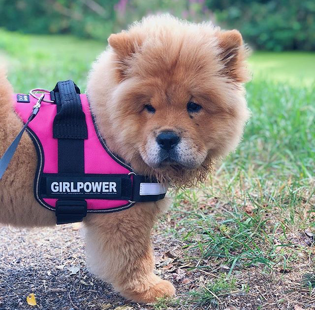 chowchow-juliusk9-harness