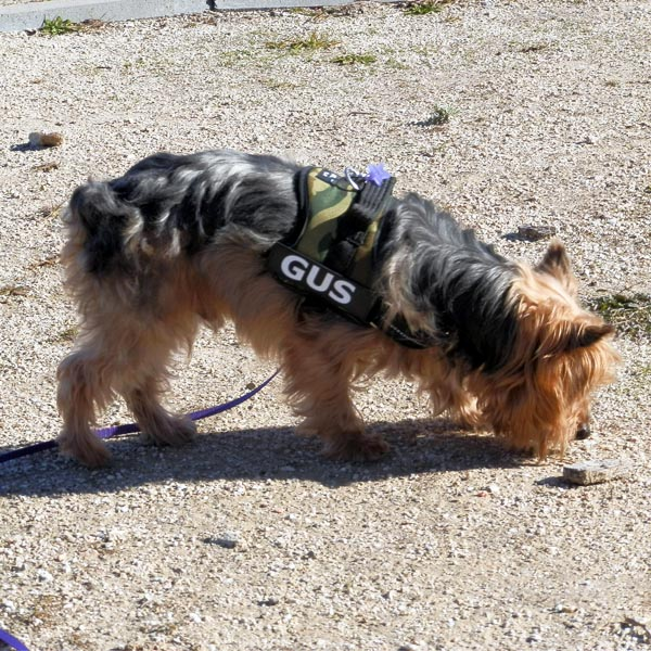 Dog Walking Harness for Yorkshire Terrier