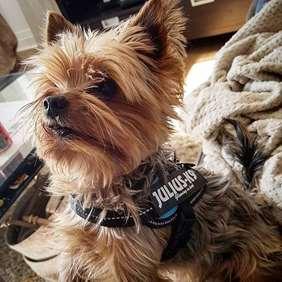Julius-K9 harness for yorkshire terrier