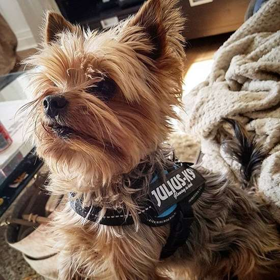 Julius-K9 harness for yorkshire terrier