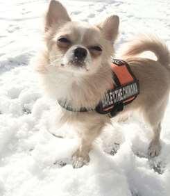 Chihuahua dog harness
