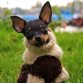 Julius-K9 Russian Toy Terrier