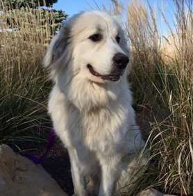 Large dog race - Great Pyrenees