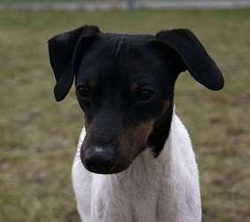 Julius-K9 Japanese Terrier