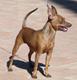 Small dog race - Miniature Pinscher