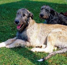 Large dog race - Irish Wolfhound