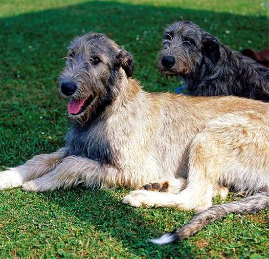 Large dog race - Irish Wolfhound