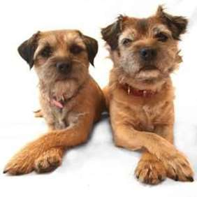 Small dog race - Border Terrier