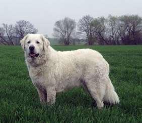 Large dog race - Kuvasz