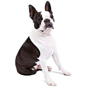 Boston Terrier - Small dog race