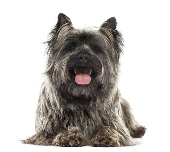Cairn Terrier - small dog race