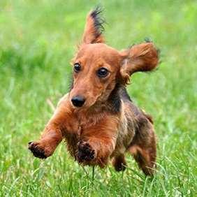 Dachshund - Small dog race