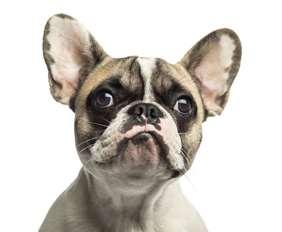 French Bulldog - small dog race