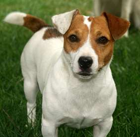 Jack Russel Terrier - Small Dog Race