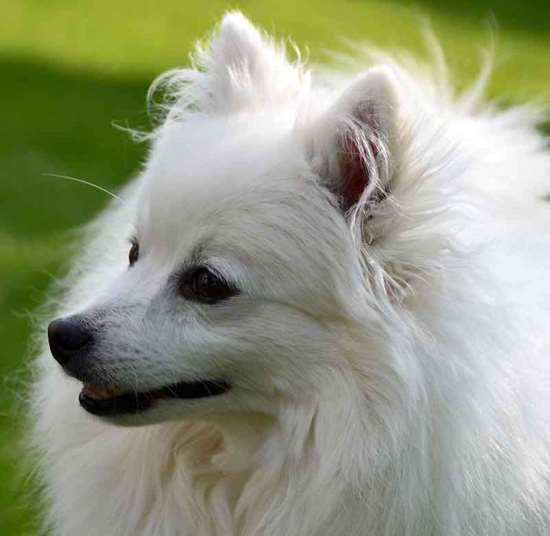 Japanese Spitz Julius-k9 harness