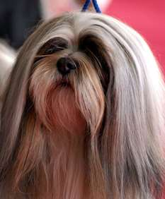 Lhasa Apso - Small dog race