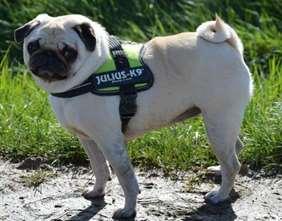 Pug Julius-K9 harness