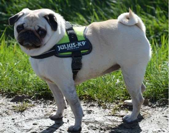 Julius-K9 Harnesses, collars and others - K9harness.com, Pug - Small