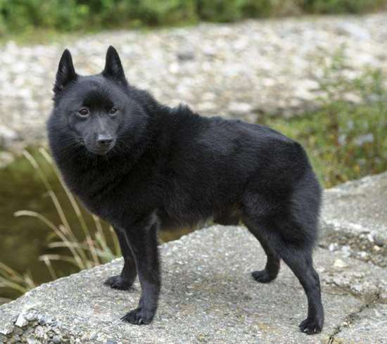 Schipperke - Small Dog Race