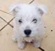 Westie - Puppy dog