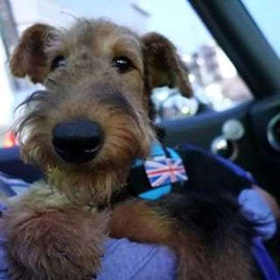 Julius-k9 harness Airedale Terrier