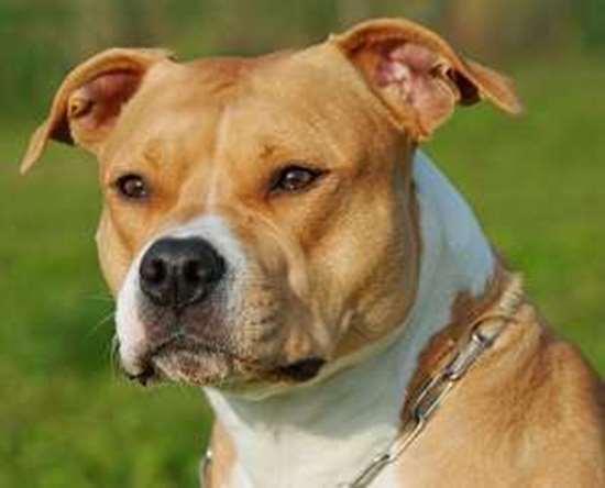 Medium-large dog race - Amstaff