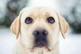 Medium-large dog race - Labrador Retriever