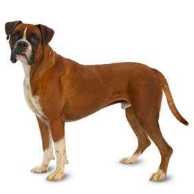 Medium-large dog race - Boxer