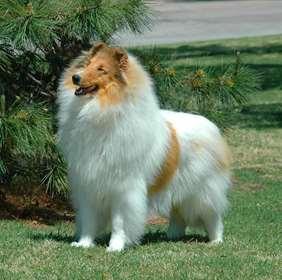 Medium-large dog race - Collie