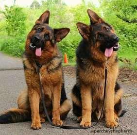 Medium-large dog race - German shepherd