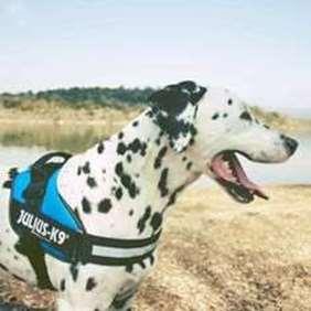 Julius-K9 Dalmatian