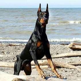 Large dog race - Doberman Pinscher