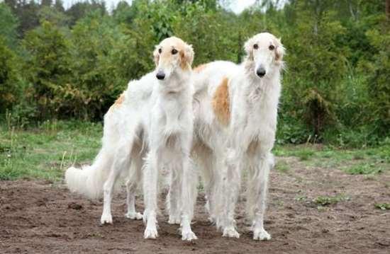 Medium-large dog race - Borzoi