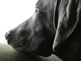 Medium-large dog race - Weimaraner