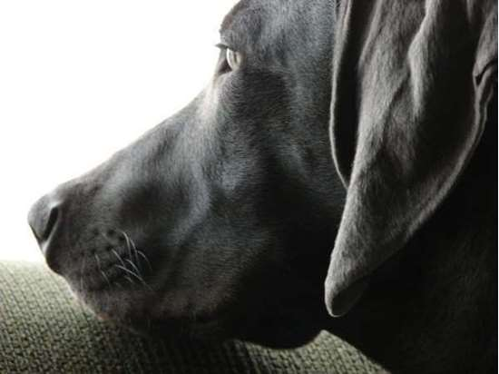 Medium-large dog race - Weimaraner