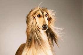 Medium dog race - Afghan Hound