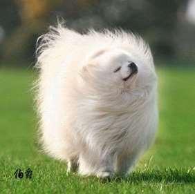 American Eskimo Dog - Medium size dog