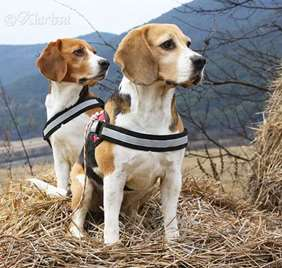 Beagle Julius-K9 harness