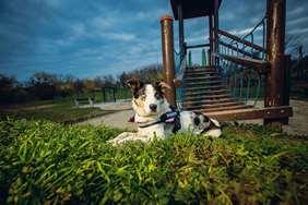 Medium dog race- Australian Shepherd