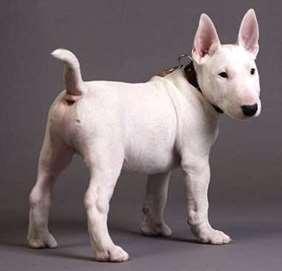 Bull Terrier julius-k9 harness size mini