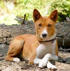 Medium dog breed - Basenji