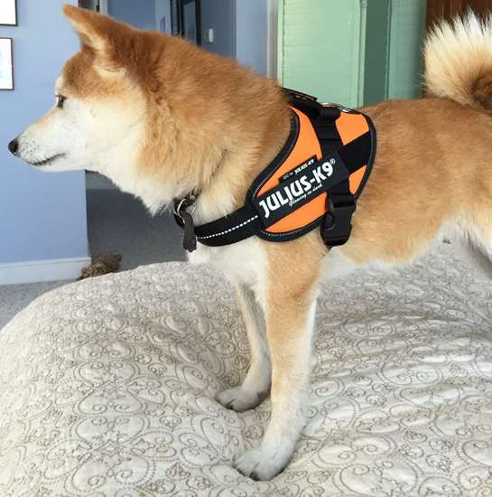 Shiba Inu Julius-K9 harness