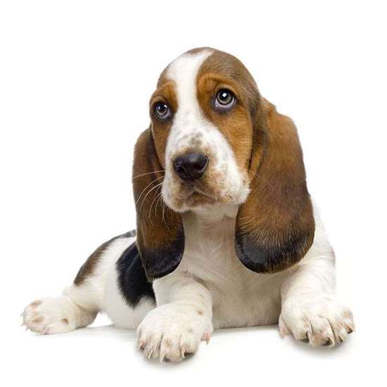 Medium dog race - Basset Hound