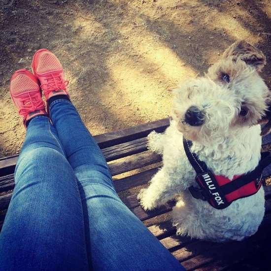 Wire Fox Terrier Julius-K9