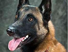 Medium dog race - Belgian Malinois