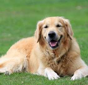 Medium dog race - Golden Retriever