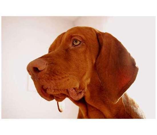 Medium dog race - Vizsla