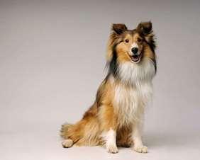 Medium dog race - Shetland Sheepdog