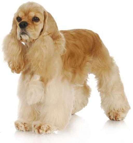 Medium dog race - American Cocker Spaniel