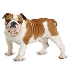 Medium dog race - Bulldog